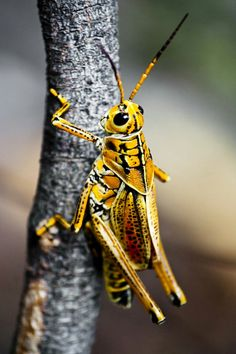 Grasshopper Pictures, Bugs, Grasshoppers, Macro Photography, Chameleon, Butterflies, Animals, Colours, Design
