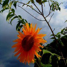 Girasol Sun Flowers, Landscape Photography, Dandelion, Plants, Sunflowers, Florals, Lawn And Garden, Dandelions, Landscape Photos