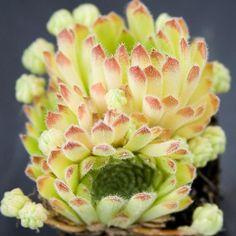 Sempervivum Erythraeum Light green rosettes tipped with rose Unusual Plants, Rare Plants, Cool Plants, Growing Succulents, Cacti And Succulents, Planting Succulents, Succulent Gardening, Container Gardening, Large Flower Pots