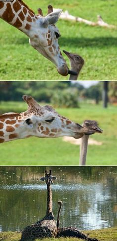 Giraffe and Ostrich friends - Interspecies bond. And animals have no feelings..PSH YES they do!