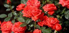 Trei secrete pentru trandafiri spectaculoși toată vara