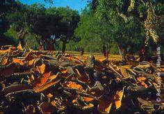 Cork forest - Montados - in Alentejo, Portugal