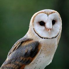 La chouette effraie (Tyto alba)