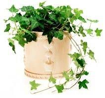 6 english ivy, Removes pollutants especially formaldehyde.  hardy * Easy to grow, very adaptable, except for high temperatures. fantastic for asthma and allergies