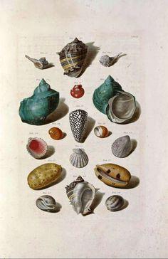Finding Fabulous: Vintage Printable Sea Shell Prints.