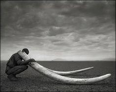 Ranger with Tusks of Killed Elephant,Amboseli 2011