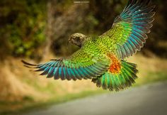 Kea Parrot, the only alpine parrot in the world, flying Happy Animals, Animals And Pets, Information About Birds, New Zealand Houses, Kiwiana, Feather Painting, Bird Drawings, Colorful Birds, Bird Watching