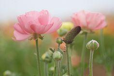 The Flower Fields ~ Carlsbad, CA