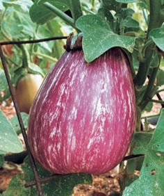 Growing Eggplants Successfully - Fine Gardening Article