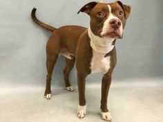 SAFE ❤️REX – A1075770 MALE, BROWN / WHITE, AM PIT BULL TER MIX, 10 mos OWNER SUR – EVALUATE, NO HOLD Reason NO TIME Intake condition UNSPECIFIE Intake Date 05/31/2016, From NY 10456, DueOut Date 05/31/2016,