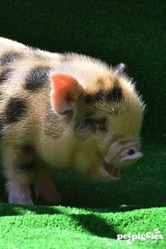 micropiggies in the tub   Blog   Petpiggies   Micro Pigs : Micro Pigs For Sale : Mini Pigs ...