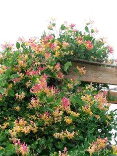 Lonicera Belgica pe arac, lablab pe arac / la poarta, floarea-soarelui pe trepied
