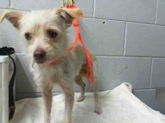 #A473623 Release date 10/7 I am a female, tan Terrier. Shelter staff think I am about 1 year old. I have been at the shelter since Sep 30, 2014.  San Bernardino City Animal Control 333 Chandler Place San Bernardino, CA 92408 Phone Number: (909) 384-1304 https://www.facebook.com/photo.php?fbid=10203641200608144&set=a.10203202186593068&type=3&theater