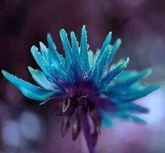 Turquoise and Purple Macro Flower Unusual Flowers, Love Flowers, Purple Flowers, Turquoise And Purple, Aqua Blue, Blue Plants, Macro Flower, Flower Quotes, Violet