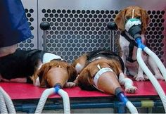 15 Fotoğrafla hayvan deneyleri neden kabul edilemez – Hayvan Özgürlüğü Çevirileri