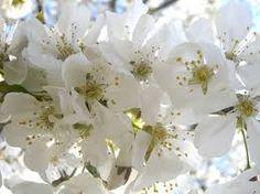 Risultati immagini per fiori di ciliegio bianchi foto