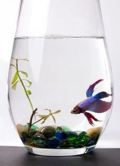 Image detail for -... beta fish blog that got betta fish bowl cleaning down to a science