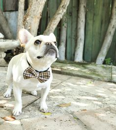 Featuring WTFrenchie. Dog Bow Tie by Benni Barker - Available at www.BenniBarker.com