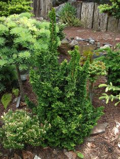 Sortiment Edwin Smits Conifers Thuja occidentalis 'Malonyana Holub'