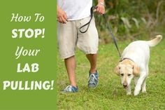 How to stop your lab pulling written beside a labrador being walked on a loose leash