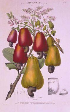 """""""La Pomme d'Acajou"""" Chromolithograph from Etienne Denisse (active 1814-1845) Flore d�Amérique dessinée d�après nature sur les lieux Paris: Gihaut frères, [1843-1846]"""