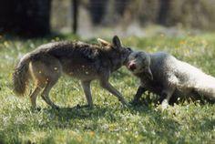 fox hunt sheep - Google Search