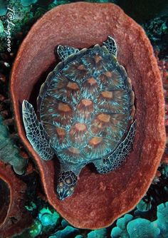 Blue sea turtle in a coral tub! By Ken Thongpila