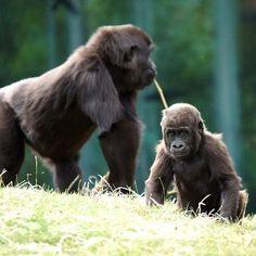 naissance de petits gorillons au zoo parc de Beauval dans le Loir-et-Cher.