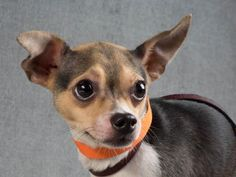 Adopt Dillard, a lovely 2 years Dog available for adoption at Petango.com. Dillard is a Chihuahua, Short Coat / Terrier and is available at the National Mill Dog Rescue in Colorado Springs, Co. www.milldogrescue... #adoptdontshop #puppymilldog #rescue #adoptyourfriendtoday
