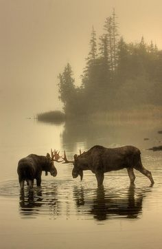 Moose in Isle Royale Park by Pure Michigan. Love the Moose! Beautiful Creatures, Animals Beautiful, Cute Animals, Wild Animals, Baby Animals, Autumn Animals, Beautiful Wall, Photo Animaliere, All Nature