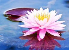 Gambar Bunga Teratai di Permukaan Air