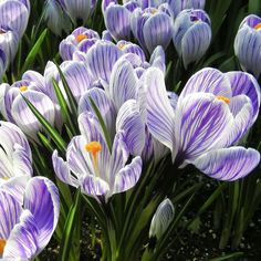 Crocus Vernus King of the Stripes | Dutch Crocus King of the Stripes Adding stripes to the petals of a crocus is a bit like wearing your hat cocked a little to