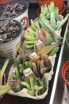 Egg carton propagation. Succulent Leaf Propagation. Learn to make hundreds of succulents in a couple of months with propagation! succulent propagation | succulent gardening | succulent care | indoor gardening | drought-tolerant gardening | succulent projects | succulent diy