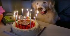 """""""When this Golden Retriever turned 15 yrs old, his family wanted to make sure he knew just how much he was loved. They got him a cake & sang happy birthday to him. They helped him blow out the candles. And then he was even allowed to eat some of the cake (which was safe for him to eat — no chocolate, just plain cake w/strawberries). He laid down on his human while they fed him with a fork. His doggy sibling even gave him some birthday kisses!"""" Click to watch & share this sweet video (0:31)…"""