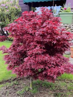 Dwarf, slow growing Japanese maple with dense red foliage. Excellent in a container or in mixed beds.
