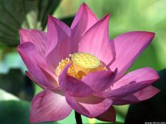 One of my favorite flowers.  The lotus!