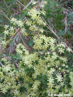 Asparago- Asparagus acutifolium L.  Famiglia Liliaceae  Nome comune  Asparago pungente    Nome sardo  Sparàu(Villacidro – Sard. merid.),Spàragu(Sard. sett.),Arbarau(Ierzu),Brodau(Barbagia),Iparamu(Logudoro – Sassarese).    Fioritura: agosto-novembre