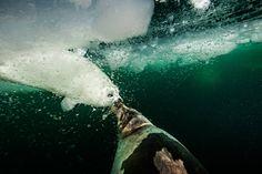National Geographic en español. · Reportajes-El golfo de San Lorenzo En esta imagen, tomada cerca de la isla del Príncipe Eduardo, una foca de Groenlandia empuja a su cría, blanca como la nieve, a saltar del hielo y nadar. Una vez que la madre ha partido, algunas crías se ahogan cuando el hielo, fino o inestable, cede bajo el peso de su cuerpo.
