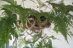 Rabbit foot fern    Google Image Result for http://www2.tbo.com/exposure/ar/385/255/2009/06/12/3780_061209-rabbits-fern-385x255.jpg