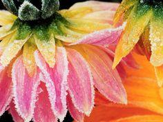 flowers in frost - Google Search