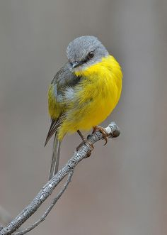Eastern Yellow Robin, on guard by David Jenkins on Flickr
