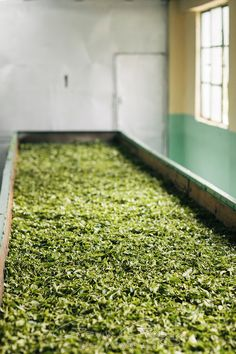 Darjeeling tea leaves drying in withering troughs at a tea factory, Glenburn Tea Estate, Darjeeling, India Darjeeling Tea, Tea Plant, Tea Blog, Tea Quotes, Tea Culture, Chinese Tea, My Cup Of Tea, Loose Leaf Tea, Drinking Tea