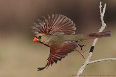 Sunshine Girl (Northern Cardinal) Photo by Howard Cheek -- National Geographic Your Shot