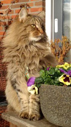 Noorse boskat(er) 4 jaar