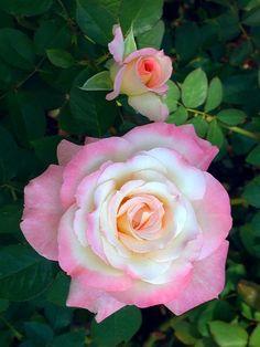 'Secret'   Hybrid Tea Rose. Daniel Tracy, 1992   Flickr - © Cap001 - Dan
