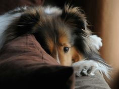 If you have a Sheltie...this is all too familiar makes you smile every time!!! Miss our boy Disney!!