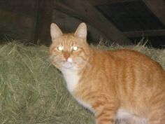 """A """"barn cat"""" is any cat that is deemed to be not adoptable as an indoor pet. Most often the cats are feral, which means they were born and raised """"in the wild"""" with little or no human contact. Others are hard strays, cats that were once domestic but reverted to unsocialized behavior after long periods of surviving outdoors on their own."""