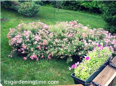 8 Reasons to Grow Neon Spirea Shrub in Your Landscape! Neon Spirea is a #low-maintenance #shrub that blooms magenta #flowers all #summer long! #garden #gardens #gardening #gardeningtips #gardeningtipsforbeginners #gardendesign #flower #lowmaintenance