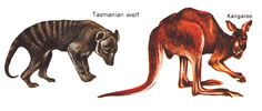 The Tasmanian wolf and the kangaroo are examples of marsupials that have survived in Australasia because this area become separated from the rest of the world by continental drifting, as a result, these animals had little competition from more advanced mammals that were developing elsewher