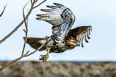 Heavy Metal: The debate over how to regulate lead ammunition is heating up in Oregon. Red Tailed Hawk, Heavy Metal, Autumn 2017, Bugs, Oregon, Animals, Heavy Metal Music, Animaux, Beetles